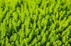 Priorità bassa della pianta verde fotografia stock libera da diritti