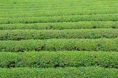 Priorità bassa della piantagione di tè verde Foglia di tè organica Immagini Stock Libere da Diritti