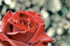 Priorità bassa della Rosa fotografia stock libera da diritti