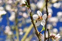 Priorità bassa della sorgente Albero meravigliosamente sbocciante con un'ape Fiore in natura fotografia stock libera da diritti