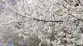 Priorità bassa della sorgente Albero sbocciante in primavera fiore di ciliegia in primavera video d archivio