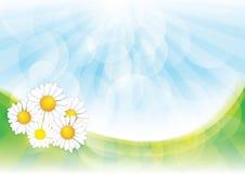 Priorità bassa della sorgente con i fiori della camomilla Fotografia Stock Libera da Diritti