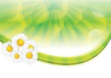 Priorità bassa della sorgente con i fiori della camomilla Immagini Stock Libere da Diritti