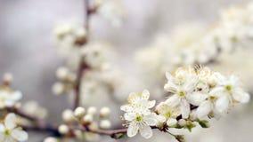 Priorità bassa della sorgente Fiore di ciliegia alla luce solare luminosa Cherry Tree Blossom video d archivio