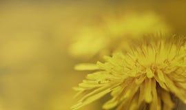 Priorità bassa della sorgente Fiore giallo del dente di leone su un fondo giallo-marrone closeup Per il disegno Vista laterale Fotografia Stock Libera da Diritti