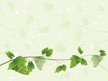Priorità bassa della vite con l'uva verde Fotografia Stock