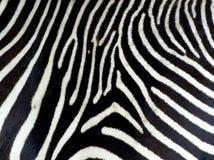 Priorità bassa della zebra Immagini Stock