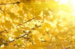 Priorità bassa delle foglie di acero Fotografia Stock Libera da Diritti