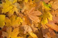 Priorità bassa delle foglie di acero Fotografie Stock Libere da Diritti