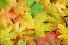 Priorità bassa delle foglie di acero Fotografia Stock