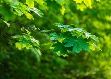 Priorità bassa delle foglie di acero Fotografie Stock