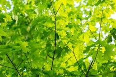 Priorità bassa delle foglie di acero Immagini Stock