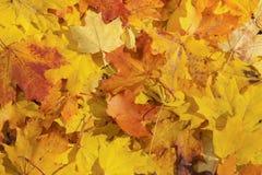 Priorità bassa delle foglie di acero Immagine Stock