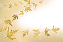 Priorità bassa delle foglie di acero di caduta Immagini Stock