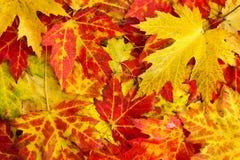 Priorità bassa delle foglie di acero di caduta Immagini Stock Libere da Diritti