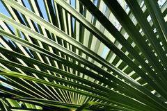 Priorità bassa delle foglie di palma Immagine Stock Libera da Diritti