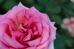 Priorità bassa dentellare della Rosa Fotografia Stock