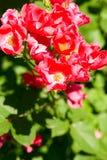 Priorità bassa dentellare della Rosa cespuglio Immagini Stock Libere da Diritti