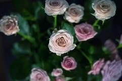 Priorità bassa dentellare e bianca delle rose Fotografie Stock Libere da Diritti