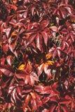 Priorità bassa di autunno con i fogli rossi Fondo selvaggio dell'uva fotografia stock