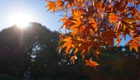 Priorità bassa di autunno con le foglie di acero Fotografia Stock