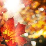 Priorità bassa di autunno con le foglie di acero Confine astratto di caduta Immagine Stock Libera da Diritti