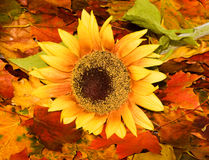 Priorità bassa di autunno con un girasole Immagine Stock