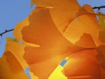 Priorità bassa di biloba del Ginkgo Fotografie Stock Libere da Diritti