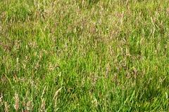 Priorità bassa di erba verde alta Immagine Stock Libera da Diritti