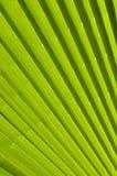 Priorità bassa di foglia di palma Fotografie Stock Libere da Diritti