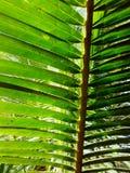 Priorità bassa di foglia di palma verde fotografia stock