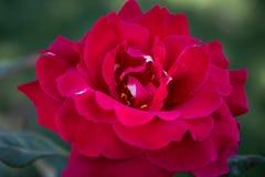 Priorità bassa di rosa di colore rosso Immagine Stock Libera da Diritti