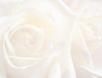 Priorità bassa di rosa di bianco Fotografia Stock