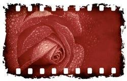 Priorità bassa di rosa di Grunge Fotografia Stock Libera da Diritti