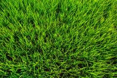 Priorità bassa di struttura dell'erba verde Immagini Stock