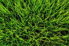Priorità bassa di struttura dell'erba verde Fotografie Stock