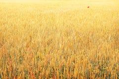 Priorità bassa dorata del campo di frumento immagine stock libera da diritti