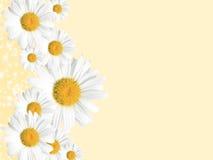 Priorità bassa, estate o primavera della margherita stagionale Fotografia Stock