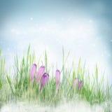 Priorità bassa floreale della sorgente con i fiori del croco Fotografia Stock