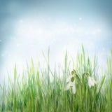 Priorità bassa floreale della sorgente con i fiori dello snowdrop Fotografia Stock Libera da Diritti