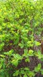 Priorità bassa floreale della sorgente greenery fotografia stock libera da diritti