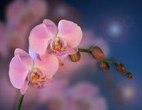 Priorità bassa floreale dentellare delle orchidee Fotografie Stock Libere da Diritti
