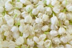 Priorità bassa fresca del fiore del gelsomino Fotografia Stock Libera da Diritti