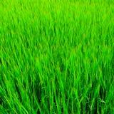 Priorità bassa fresca dell'erba Fotografie Stock Libere da Diritti