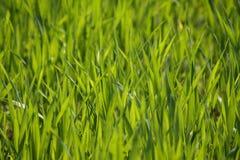 Priorità bassa fresca dell'erba Fotografia Stock Libera da Diritti
