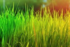 Priorità bassa fresca dell'erba verde Immagine Stock