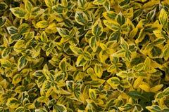 Priorità bassa frondosa gialla verde - Euonymus Fotografia Stock