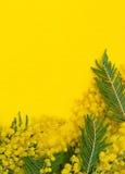 Priorità bassa gialla con la filiale del mimosa Fotografia Stock