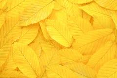 Priorità bassa gialla dei fogli di autunno immagine stock
