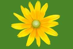 Priorità bassa isolata del fiore della margherita Fotografia Stock